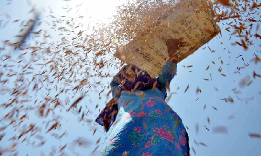 A woman winnows wheat at a grain market in Bhagtanwala, in the Indian state of Punjab