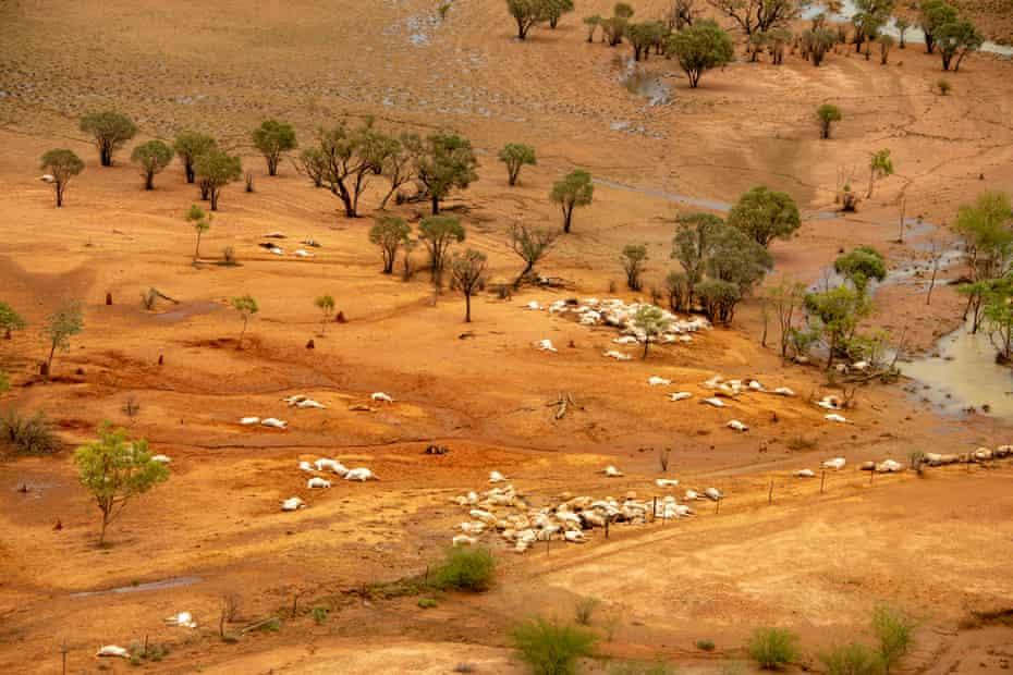 dead cattle in Queensland