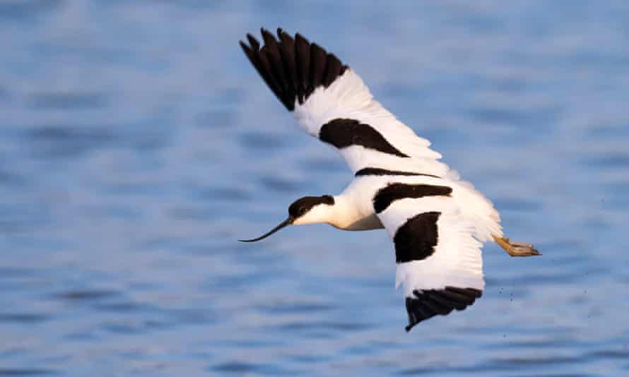 An avocet in flight at Minsmere nature reserve.