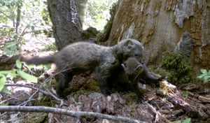 Fishers  from Candid Creatures: How Camera Traps Reveal the Mysteries of Nature