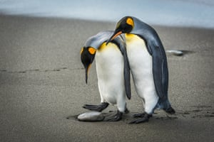On South Georgia, two king penguins look down and wonder what's lying on the beach: is it an egg to nest on or just a rock to step over?