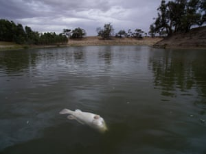 Another Murray cod dead below the weir at Menindee.