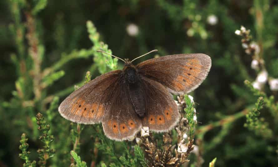 The mountain ringlet only lives above 350 metres, in the Lake District and the Scottish Highlands.