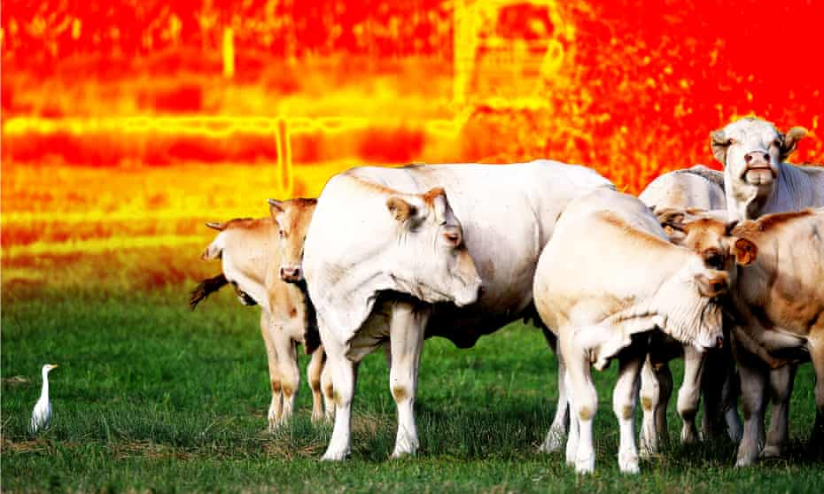 Cows.