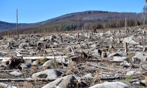 Trees ravaged by a bark beetle infestation stand in a forest near Schierke, Germany. Summers in Germany,