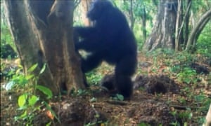 More ritual behaviour from the Guinea chimps
