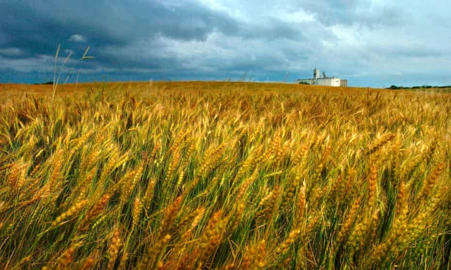 Wheat fields in Salina, Kansas.
