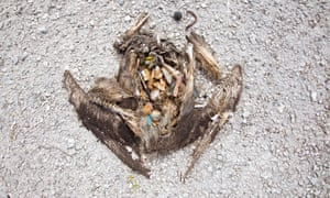 albatross corpse rotting away to reveal the rubbish it's consumed