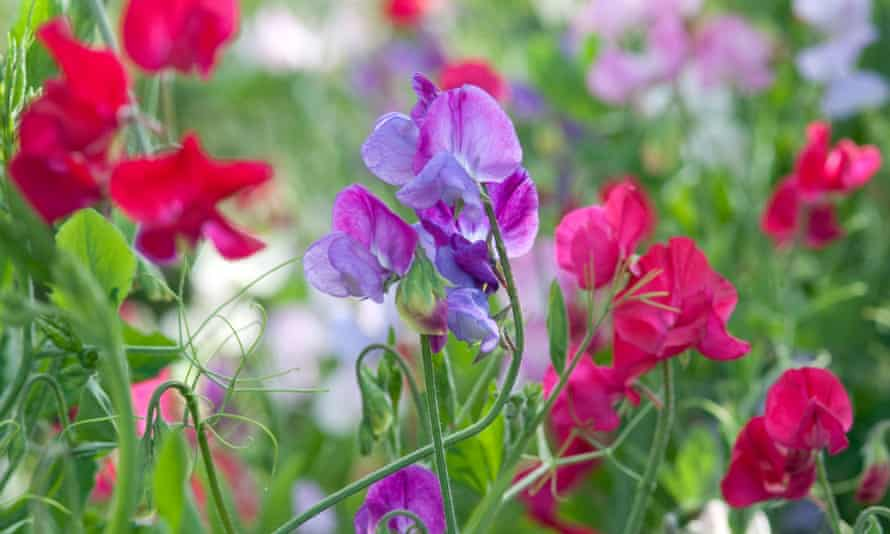 Aroma therapy: sweet peas, which flower from May to July.