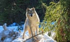 Wolf culls do not protect caribou, study suggests thumbnail