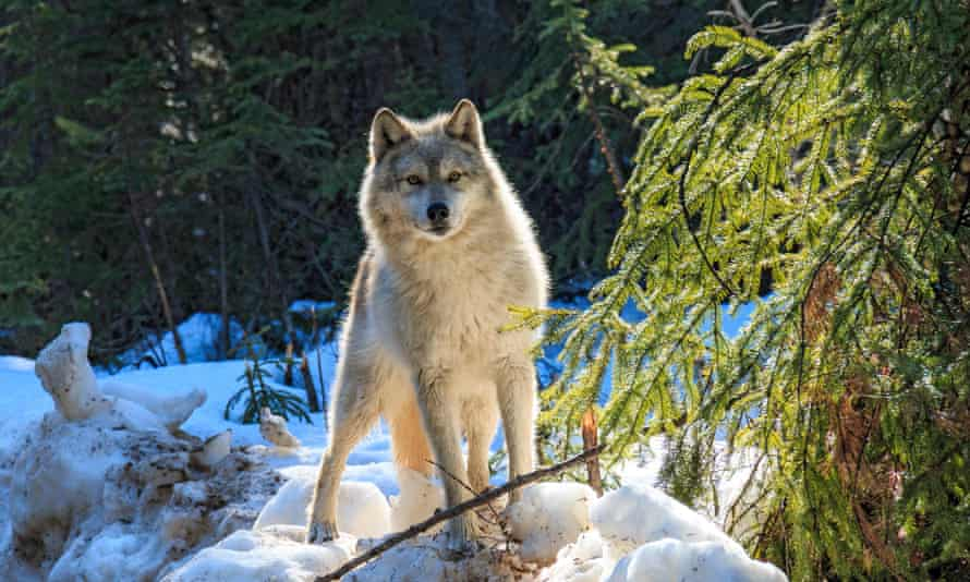 In 2015, British Columbia placed a bounty on wolves, which the province believed to be a key threat to caribou.