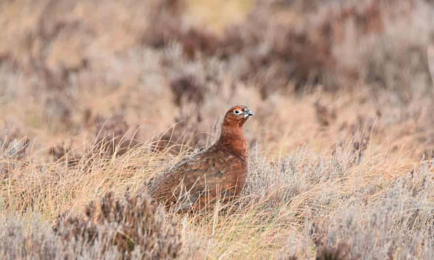 Red grouse at Langholm Moor, UK