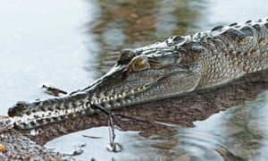 A freshwater crocodile