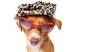 Puppy wearing leopardskin hat and pink sunglasses, against white background