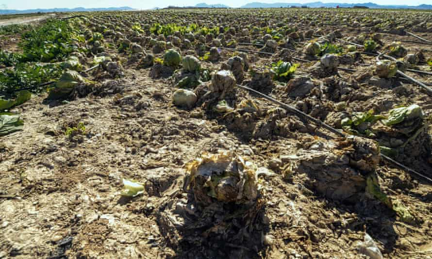 Wasted leaves: a lettuce field devastated by storms in Torre Pacheco. The crop has been covered with mud and turned upside down.