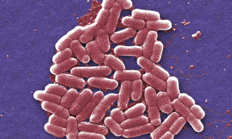 A strain of E. coli bacteria
