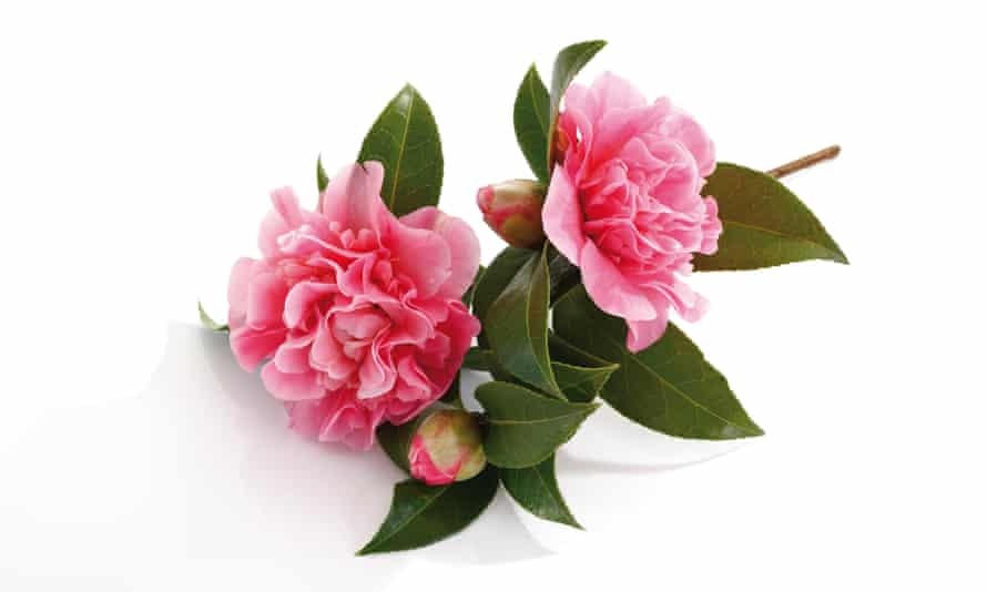 Japanese camellias: they're lovely, but frankly they could have been photographed in Cornwall.