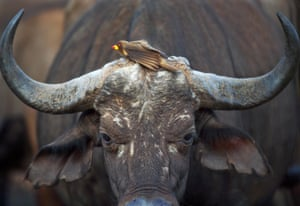 A red-billed oxpecker