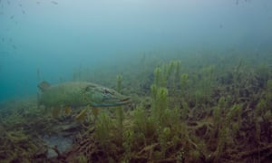 A pike in murky water