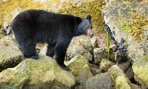 A black bear, seen in British Columbia, Canada.