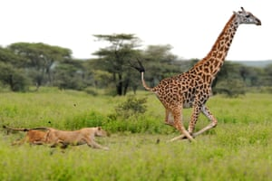 A giraffe escapes lion's  in Serengeti national park, Tanzania
