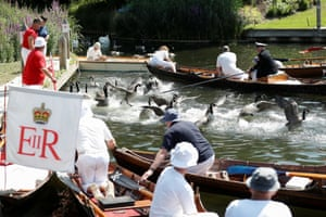 Officials clear geese away before they catch cygnets and swans