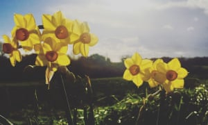 Narcissus in Guernsey in November.