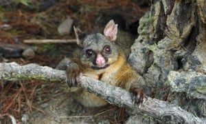The brushtail possum is a reviled feral pest in New Zealand's North Island