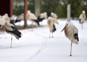 White storks stand on one leg on the snow covered ground at the Rehabilitation Centre of Protected Animals in Przemysl, south-east Poland
