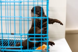 An otter in captivity at a cafe in Tokyo, Japan.