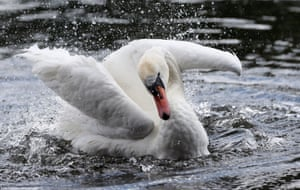 London, England A swan splashes about in the Serpentine in Hyde Park