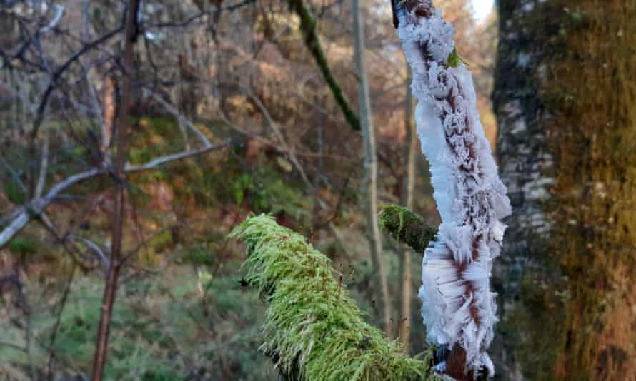 Hair ice. Forest of Ae, Dumfries and Galloway
