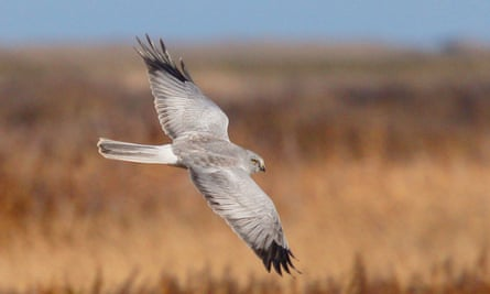 A male hen harrier in flight during autumn, Norfolk