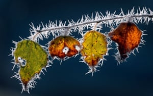 Ice needles on an autumnal branch in Marktoberdorf, Germany