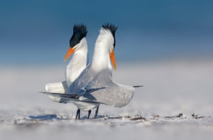 Two strutting terns