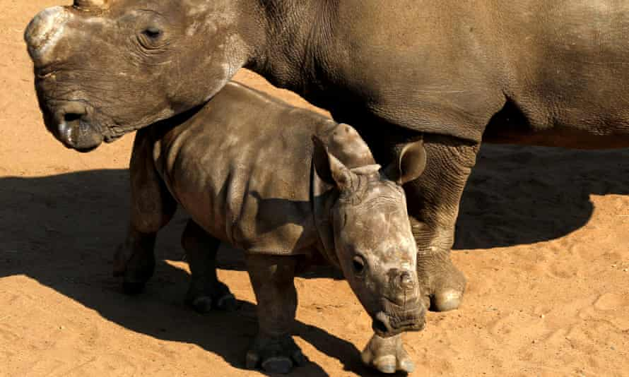 White Rhinos await buyers in pens at the annual auction in South Africa's Hluhluwe-Imfolozi national park