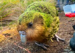 A kakapo on Codfish Island, also known as Whenua Hou, off the south coast of New Zealand's South Island. The critically endangered bird has enjoyed a record-breaking breeding season, with climate change possibly aiding the mating spree of the world's fattest parrot species.