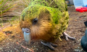 The critically endangered kākāpō is under threat from a fungal infection