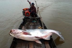 A dead Mekong giant catfish on a boat in the Tonlé Sap, Cambodia.