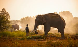 A Mahout and elephant in Thailand's Surin province.