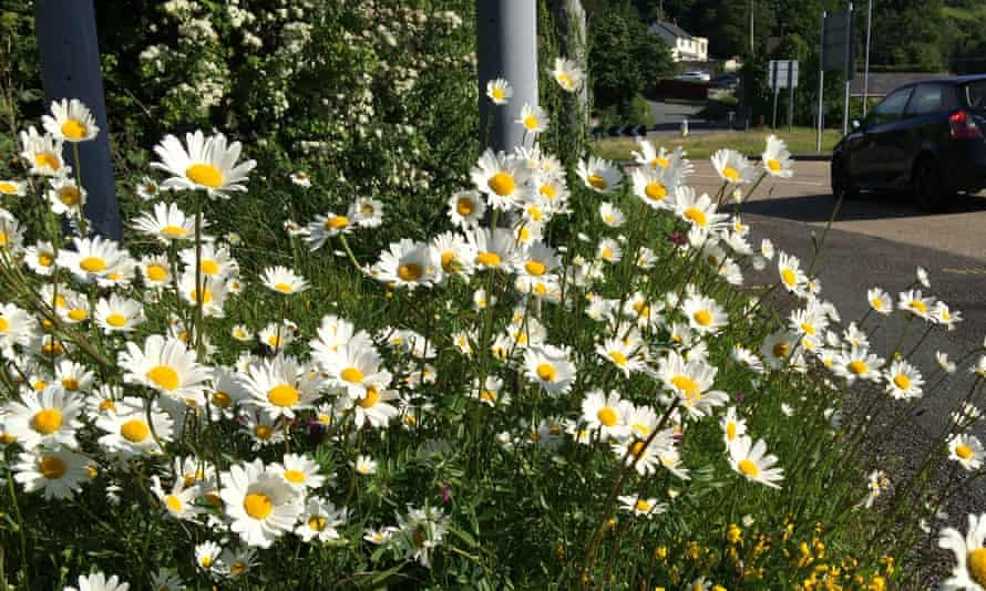 Oxeye daisies (pictured), harebells and other wildflowers could have their best summer for years