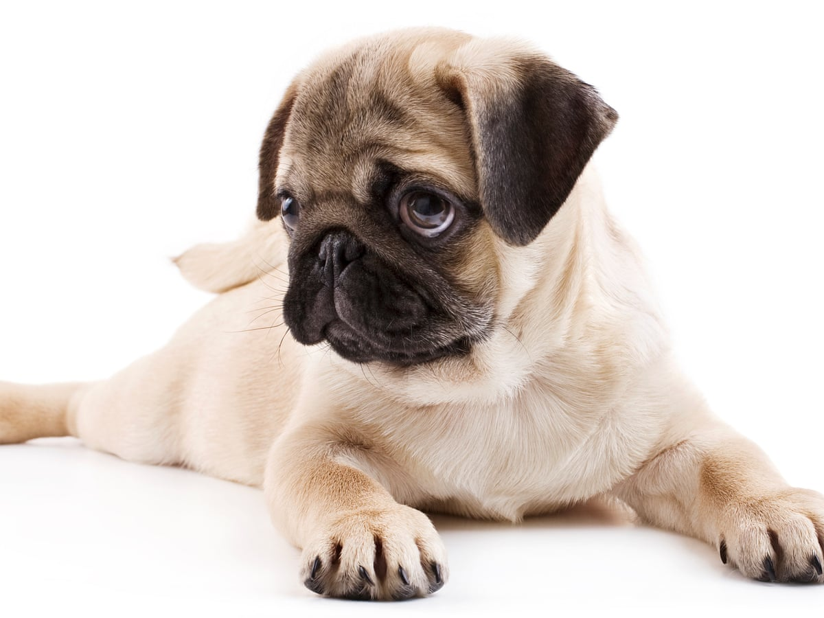 How Canines Capture Your Heart Scientists Explain Puppy Dog Eyes Science The Guardian