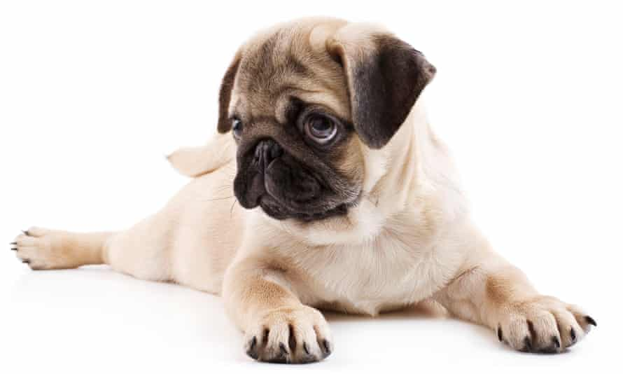 A young pug turns up the cute factor