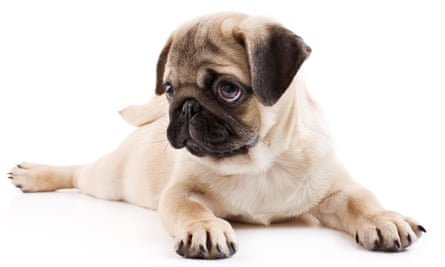 How Canines Capture Your Heart Scientists Explain Puppy Dog Eyes Animal Behaviour The Guardian