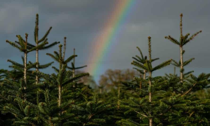 A rainbow seen over a plantation of Christmas trees.