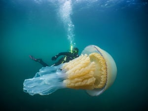 A diver swimming with a giant barrel jellyfish off the coast of Falmouth, Cornwall, England