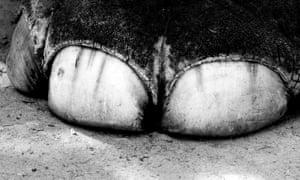 Elephant foot