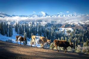 Kurdening, China. Cows walk as autumn snowfall creates wintry scenes in Xinjiang