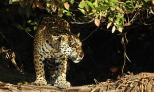 A jaguar in the dwindling Gran Chaco forest of Argentina.