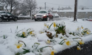Daffodils covered in snow in the village of Catton, Northumberland